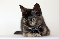Closeup of beautiful young Tortoiseshell cat with yellow eyes stock images