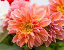 Closeup of a beautifull Dahlia blossom. Stock Photos