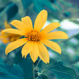 Closeup beauty mexican sunflower - Stock Image Stock Image