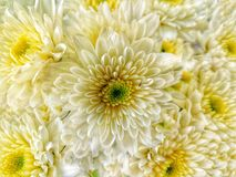 Many white& x27;s aster flowers are blooming for sale in flowers shop Royalty Free Stock Images