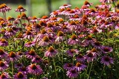 Gerber flowers in a garden Royalty Free Stock Photos