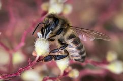 Closeup of a bee collecting pollen or a nectar from wild flowers royalty free stock photo