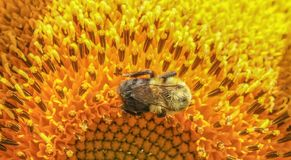 Closeup of bee crawling around on a large sunflower royalty free stock image
