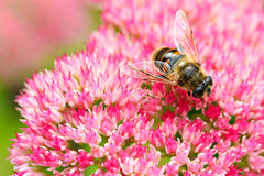 Closeup of a bee on Fette Henne flower Royalty Free Stock Images