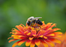 Closeup of a Bee on a flower. Bee on a flower collecting pollen on a warm summer day Royalty Free Stock Images