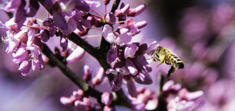Closeup of bee flying by pink flowers. Closeup of a side view of a single bee flying by pink flowers of a Redbud tree Stock Image