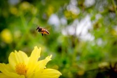 Bee flying on yellow flowers. Closeup Bee flying on yellow flowers royalty free stock images