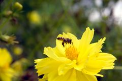 Bee flying on yellow flowers. Closeup Bee flying on yellow flowers stock photography