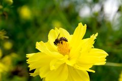 Bee flying on yellow flowers. Closeup Bee flying on yellow flowers stock image