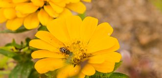 Honey bee on yellow flower Royalty Free Stock Images