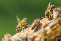 Closeup of a bee on honeycomb in apiary Royalty Free Stock Images