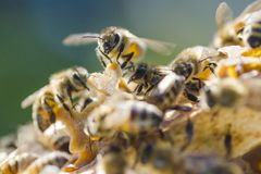 Closeup of a bee on honeycomb in apiary Stock Photography