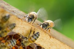 Closeup of a bee on honeycomb in apiary Stock Photos