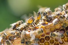 Closeup of a bee on honeycomb in apiary Royalty Free Stock Image