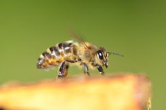 Closeup of a bee on honeycomb Stock Photos