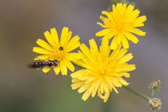 Closeup of a bee hovering over  yellow flowers. Bee flying above yellow flowers Stock Photography
