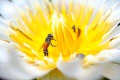 Closeup bee on lotus Royalty Free Stock Photo