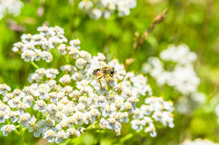 Closeup of the bee on the meadow of white flowers. In the forest, in the province of Girona, Alp, La Molina, Catalonia, Spain stock photo