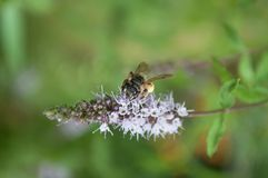 bee on mint flower stock image