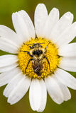 Closeup of a Bee Perfectly Centered on a Daisy Flo Royalty Free Stock Images
