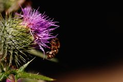 Closeup of bee pollinating flower stock images