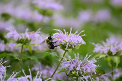 Closeup of bee on purple flower Stock Images