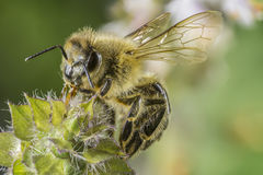 Closeup of a Bee sitting on a flower Royalty Free Stock Photos