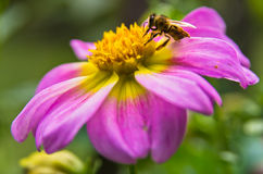 Closeup of a bee sucking pollen on a large magenta flower. At garden royalty free stock images