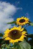 Closeup of bee and sunflower on a blue sky Stock Photos