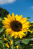 Closeup of bee and sunflower on a blue sky Royalty Free Stock Image