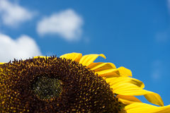 Closeup of bee and sunflower on a blue sky Royalty Free Stock Photos