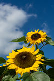 Closeup of bee and sunflower on a blue sky Royalty Free Stock Photo