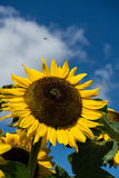 Closeup of bee and sunflower on a blue sky Stock Photography