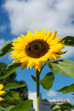 Closeup of bee and sunflower on a blue sky Royalty Free Stock Images