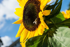 Closeup of bee and sunflower on a blue sky Stock Images