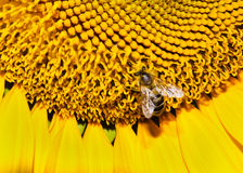 Closeup bee on a sunflower Stock Photo