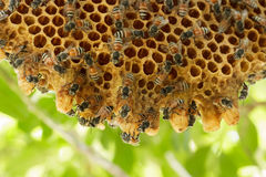 Closeup bee swarm of honeycomb on tree. Royalty Free Stock Photos