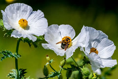 Closeup of a Bee on a White Prickly Poppy Wildflower Blossom in Stock Photos