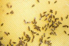 Closeup bees on comb Royalty Free Stock Photos