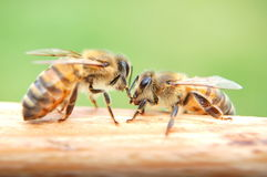 Closeup of bees eating honey Royalty Free Stock Photo