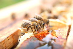 Closeup of bees eating honey Stock Photos