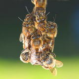 Closeup of bees hanging on honeycomb Royalty Free Stock Photography