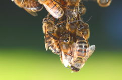 Closeup of bees hanging on honeycomb Royalty Free Stock Image