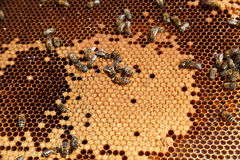 Closeup of bees in the hive Royalty Free Stock Photography