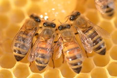Closeup of bees on honeycomb Royalty Free Stock Photography