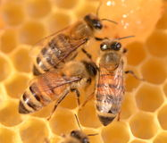 Closeup of bees on honeycomb Stock Photography