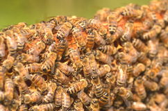 Closeup of bees on honeycomb Royalty Free Stock Images