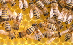 Closeup of bees on honeycomb Royalty Free Stock Photo