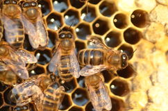 Closeup of bees on honeycomb in apiary Royalty Free Stock Photography