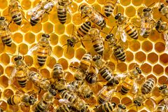 Closeup of bees on honeycomb in apiary Royalty Free Stock Image